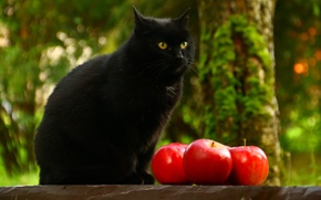 Picture cat, cat, look, nature, background, tree, black, apples, garden, fruit, sitting