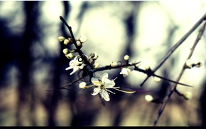 Wallpaper cherry, flowering, line, branch, forest