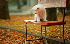 Picture bench, puppy, Akita inu, autumn Park