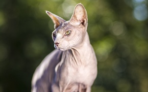 Picture eyes, cat, look, Koshak, Sphinx