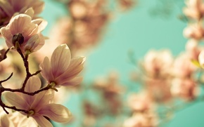 Picture macro, flowers, branches, nature, branch, spring, Magnolia