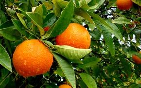 Picture leaves, water, drops, rain, tree, orange, fruit