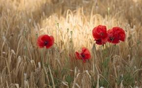 Picture wheat, field, flowers, Maki, flowering
