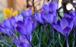 Picture grass, macro, spring, yellow, blur, lilac, Crocuses