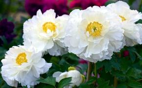 Picture petals, white, peonies