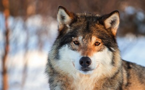 Picture look, grey, background, wolf, portrait