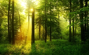 Picture greens, forest, grass, trees, the rays of the sun