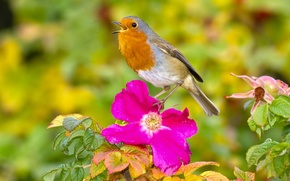 Picture flower, bird, briar, Robin, Robin