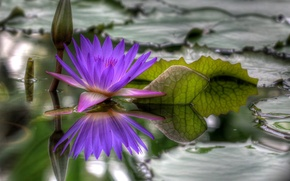 Picture water, Flower, blossomed, hdr