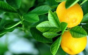 Picture oranges, leaves, fruits, oranges