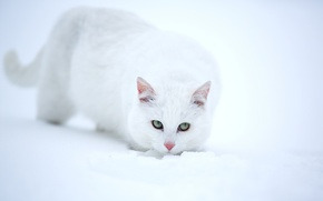 Picture look, snow, white cat