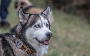 Picture look, collar, husky