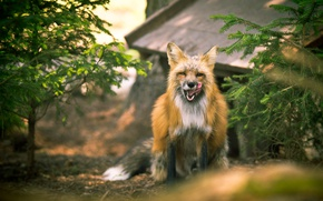 Wallpaper nature, background, Fox