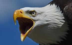 Picture bird, predator, head, beak, hawk, Bald eagle