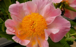 Picture flowers, widescreen, Wallpaper, spring, wallpaper, widescreen, background, the Wallpapers, peonies, peony, full screen, HD wallpapers, …