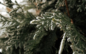 Picture nature, photo, spruce, macro branch