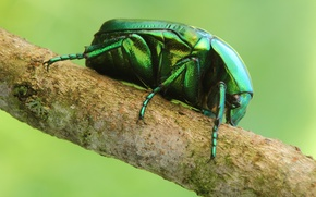 Picture macro, sprig, beetle, insect, Wallpaper from lolita777, brantovka Golden
