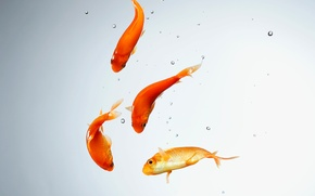 Wallpaper goldfish, water, aquarium, fish