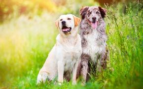 Picture greens, field, language, dogs, summer, grass, nature, meadow, pair, two, friends, Australian shepherd, Aussie
