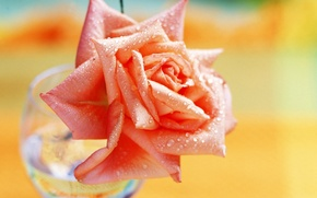 Picture flower, glass, color, drops, Rosa, paint, glass, rose, petals, brightness