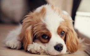 Picture puppy, Spaniel, sad, the cavalier king Charles Spaniel