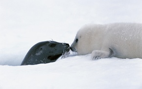 Picture Snow, Baby, Seal
