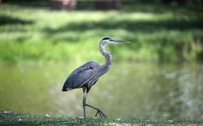 Picture bird, grey, Heron