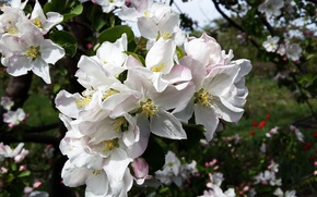 Picture flowers, spring, stamens, Apple