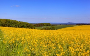 Picture field, grass, trees, flowers, yellow, space