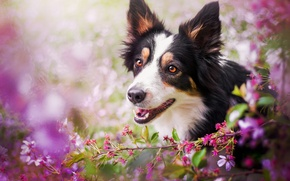 Wallpaper face, cherry, dog, branch, flowering, bokeh
