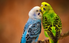 Picture love, birds, a couple, Budgerigars