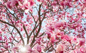Picture flowers, tree, spring, Magnolia