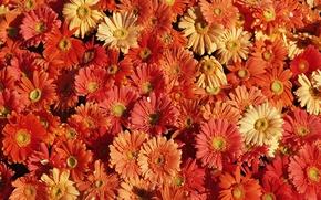 Wallpaper beauty, chrysanthemum, flower carpet