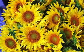 Picture sunflowers, yellow, petals