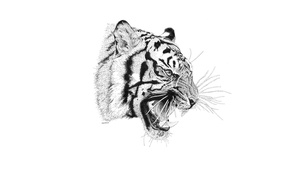 Picture tiger, predator, mouth, fangs