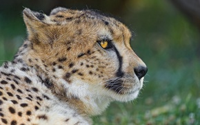 Picture cat, face, Cheetah, profile, ©Tambako The Jaguar