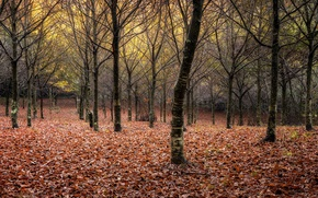 Picture autumn, forest, leaves
