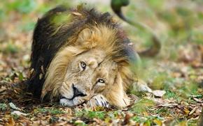 Wallpaper nature, Leo, beast