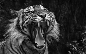 Picture mouth, fangs, tiger