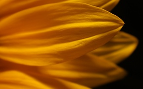 Picture flower, macro, yellow, petals, black background