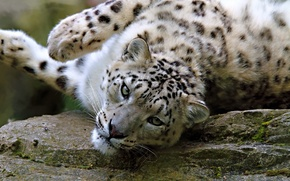 Picture look, face, stone, the game, lies, IRBIS, snow leopard, snow leopard
