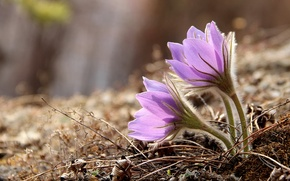Picture tenderness, spring, anemones, sleep-grass, cross