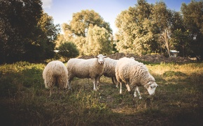 Wallpaper animals, trees, sheep, wool, sheep