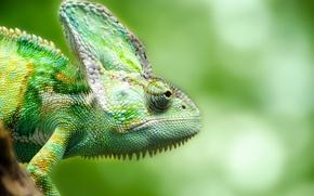 Picture green, chameleon, reptile