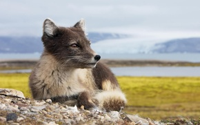 Picture Iceland, Fox, Iceland, artic fox