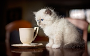 Picture cat, kitty, table, fluffy, kitchen, small, mug, Cup, sitting, friendly, saucer, Siamese, blue-eyed, ragdoll