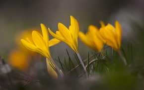 Picture grass, macro, flowers, focus, spring, yellow, petals, blur, Crocuses