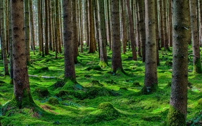 Picture forest, summer, trees, moss, coniferous