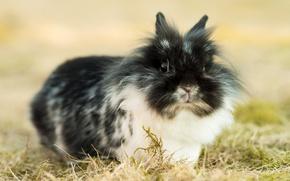Picture grass, fluffy, rabbit