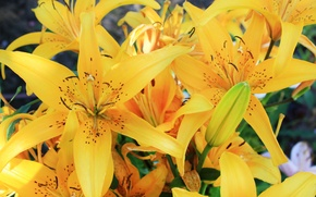 Wallpaper flowers, Lily, yellow